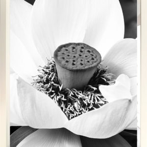 NZ Photography Lotus by Anna Killgour-Wilson