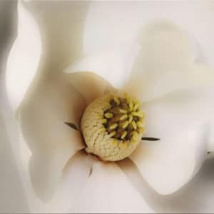 Canvas Print Magnolia by Anna Killgour-Wilson