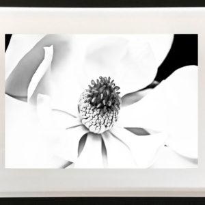 NZ Photography Magnolia