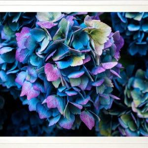 NZ PhotographyBlue Hydrangea by Anna Killgour-Wilson