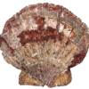 Scallop-Shell-2019