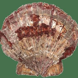 Scallop-Shell-2019