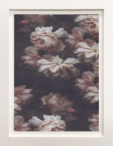 Botanical photograph - English Roses by Marina de Wit